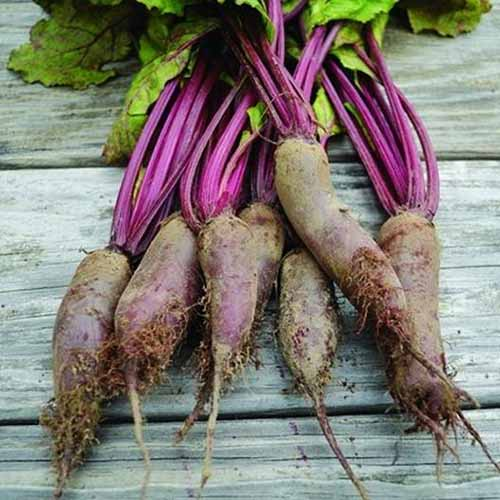 A close up square image of freshly harvested 'Cylindra' beets with the tops still attached set on a wooden surface.