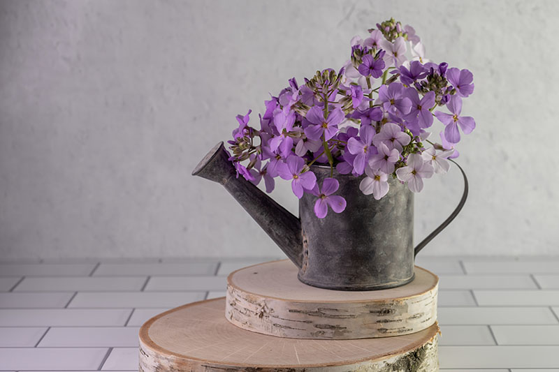 A horizontal picture of a metal watering can planted with purple and white dame's rocket flowers set on a wooden block on a tiled surface.