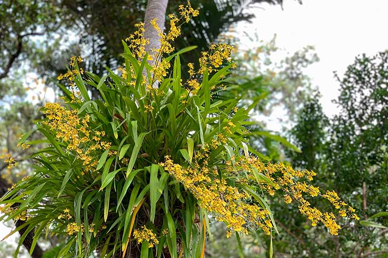 A horizontal image of a large oncidium orchid, with yellow flowers, growing on the trunk of a palm tree.