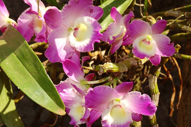 A close up horizontal image of the pink and white flowers of noble Dendrobium growing in bright sunshine.