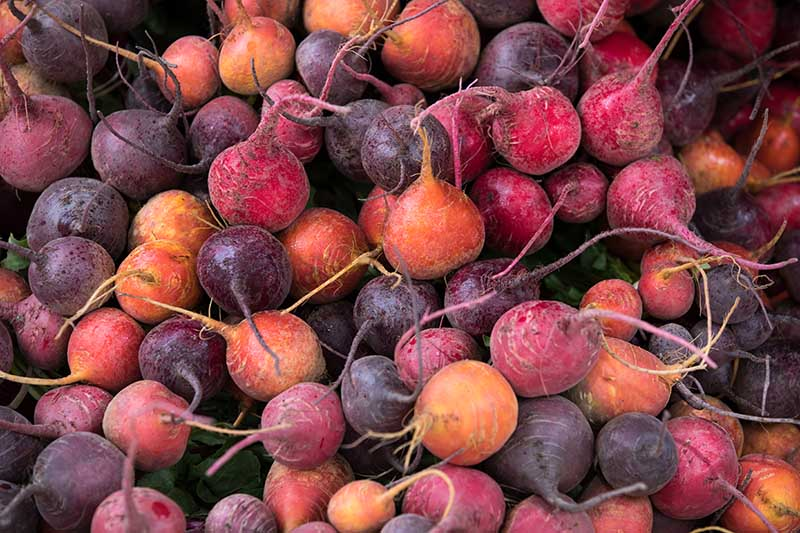A close up horizontal background image of a pile of beets in different colors, with their roots attached.