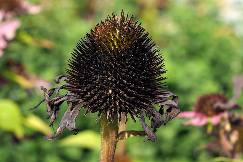 A close up horizontal image of an echinacea flower head drying in the garden, pictured on a soft focus background.