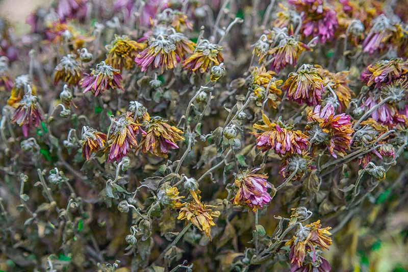 A close up horizontal image of flower heads drying in the garden, pictured on a soft focus background.