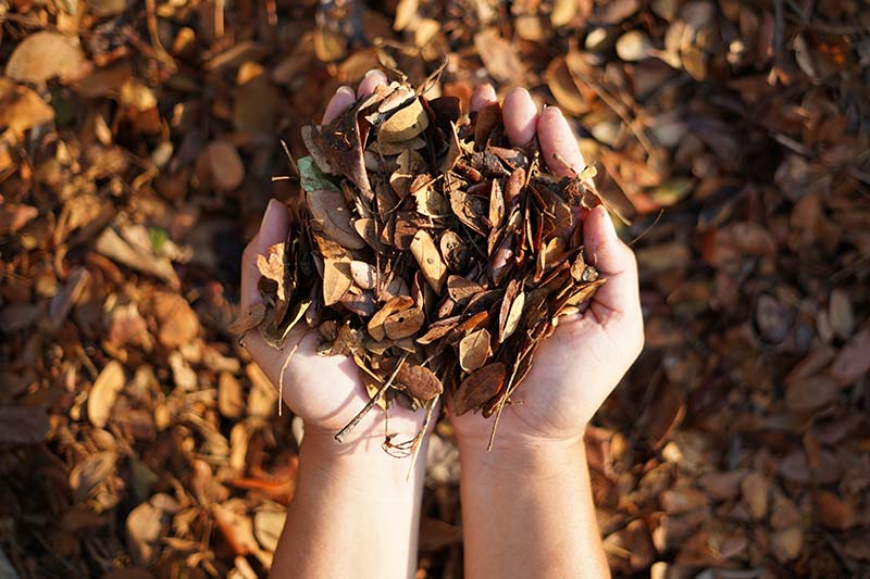 A close up horizontal image of two hands scooping up dried autumn leaves pictured in light sunshine.