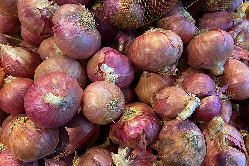 A close up of a pile of dried and cured onions with red skins pictured in bright light.