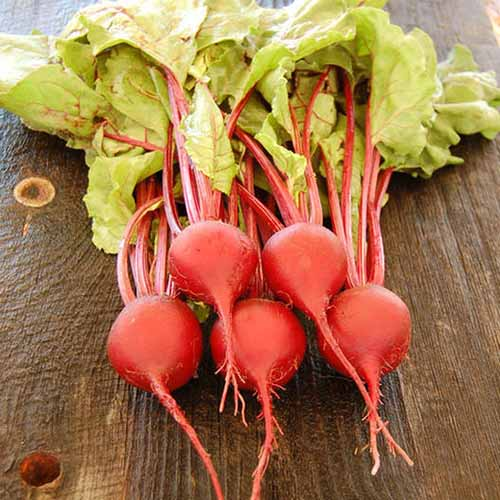 A close up square image of 'Early Wonder' light red beets with the tops still attached, set on a wooden table.