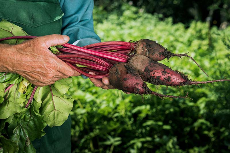 A close up horizontal image of two hands from the left of the frame holding freshly harvested Beta vulgaris roots of various sizes, pictured in light sunshine on a soft focus background.