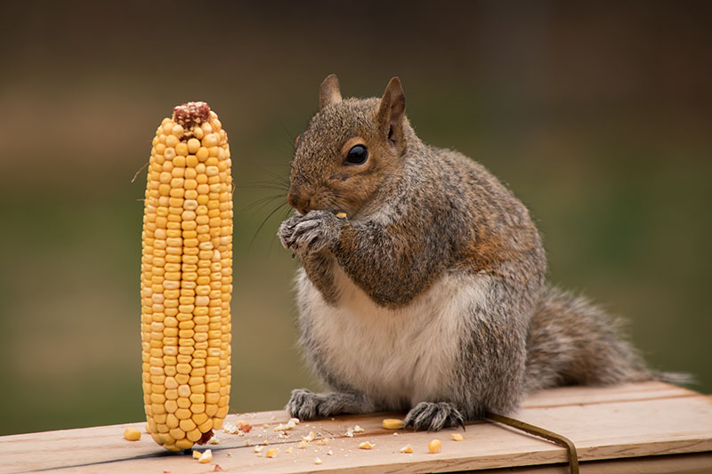 A close up horizontal image of a fat gray squirrel sitting on a wooden surface eating from a sweet corn ear, pictured on a green soft focus background.