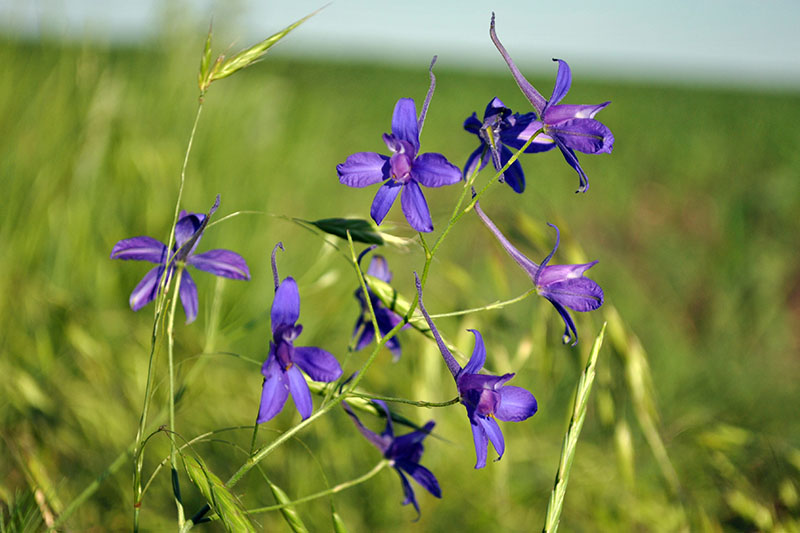 A close up horizontal image of small purple field larkspur growing in a meadow with delicate purple flowers, pictured in light sunshine on a green soft focus background.