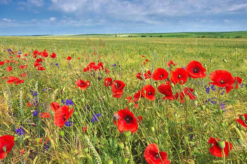 A horizontal image of a wildflower meadow with bright red poppies and purple larkspur flowers, with blue sky and hills in the background.
