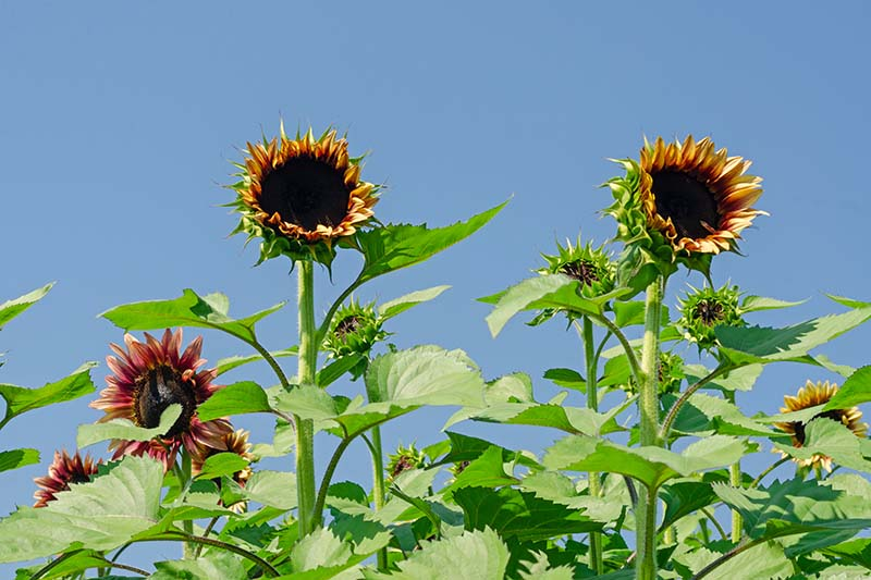 A horizontal image of pollenless Helianthus annuus 'Firecracker' flowers growing in the garden in bright sunshine with a blue sky background.