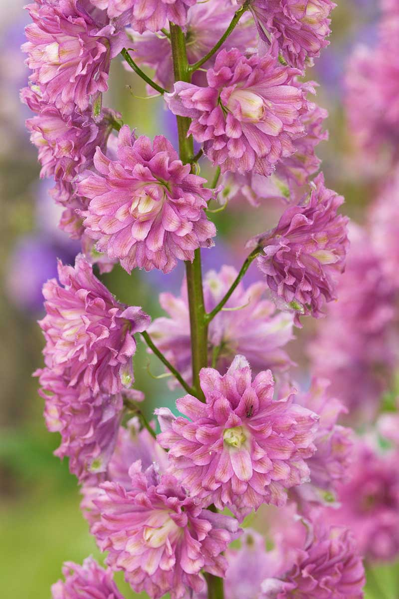 A close up vertical image of bright pink Delphinium 'Highlander Flamenco' growing in the garden, pictured on a soft focus background.