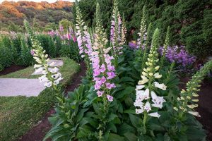 How to Grow and Care for Common Foxglove