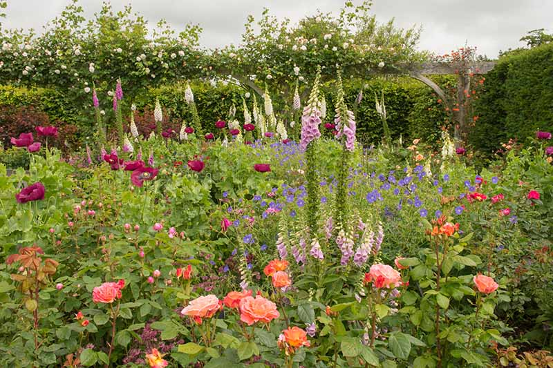A horizontal image of a mixed planting with foxgloves, roses, and a variety of other flowers growing in a cottage garden, with a hedge in soft focus in the background.