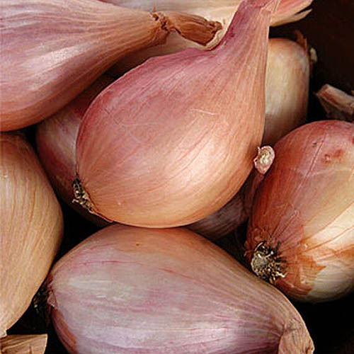 A close up square image of 'French Red' shallots in a pile on a dark soft focus background.