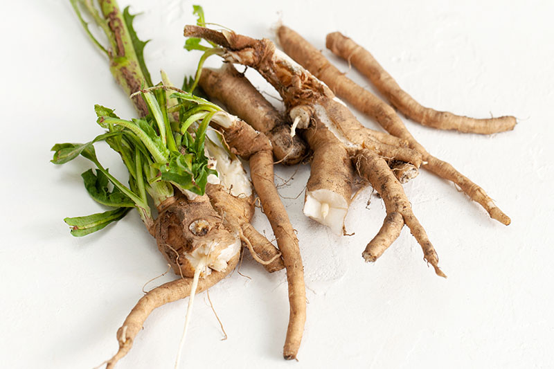 A close up horizontal image of freshly harvested Cichorium intybus root with a few small stems still attached set on a white surface.