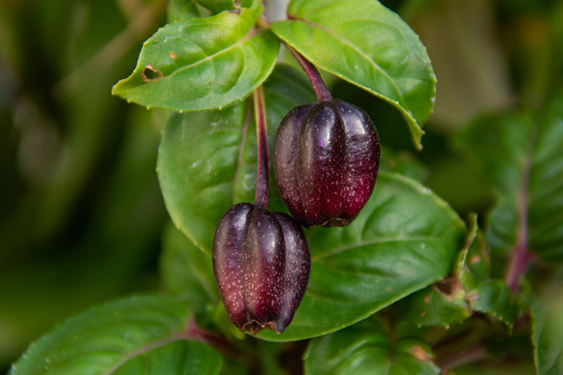 A close up horizontal image of dark purple fuchsia berries surrounded by foliage pictured on a soft focus background.