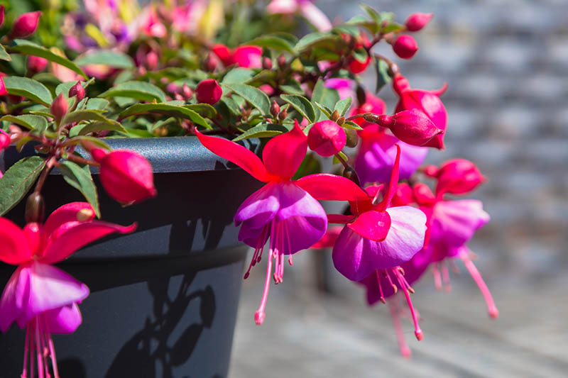 A close up horizontal image of pink and purple flowers spilling over the side of a dark container, pictured in bright sunshine on a soft focus background.