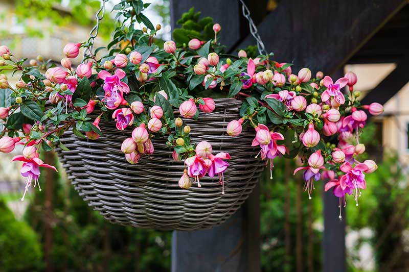 A close up horizontal image of a hanging basket on a covered porch with pink and purple fuchsia spilling out over the side.