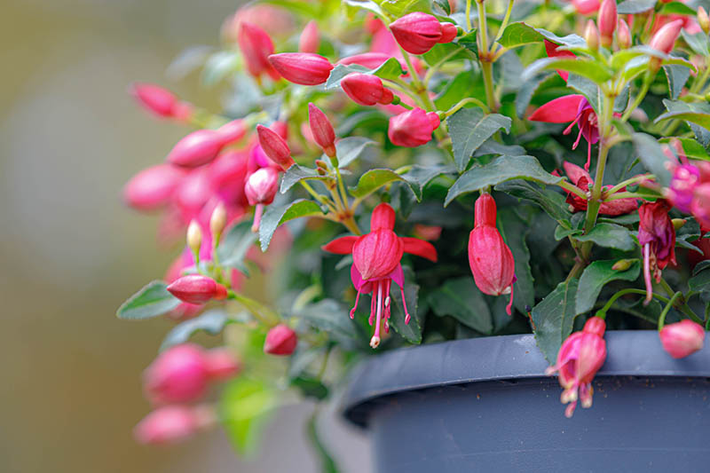 A close up horizontal image of a gray plastic container planted with bright red fuchsia flowers surrounded by foliage pictured on a soft focus background.