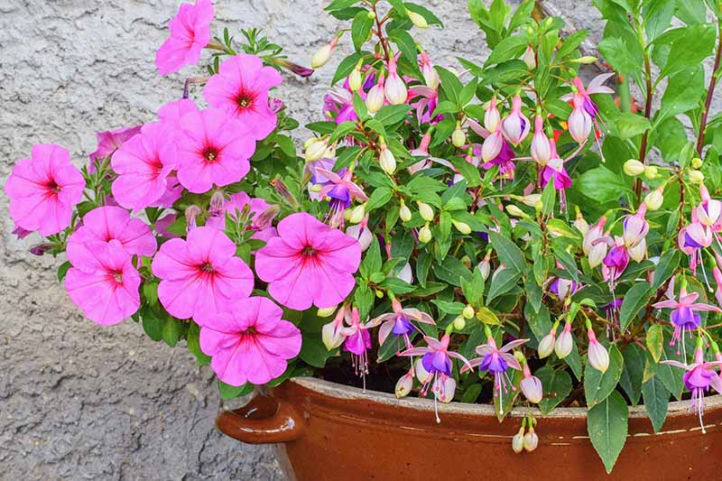 A close up horizontal image of a brown glazed ceramic container planted with bright pink petunias and a light pink and purple fuchsia shrub, with a stone wall in the background.