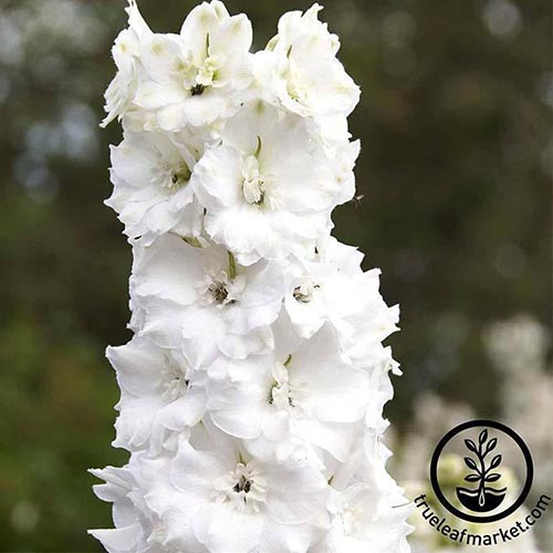 A close up square cropped image of a tall upright white flower of 'Galahad' delphinium growing in the garden, pictured on a soft focus background. To the bottom right of the frame is a black circular logo and text.