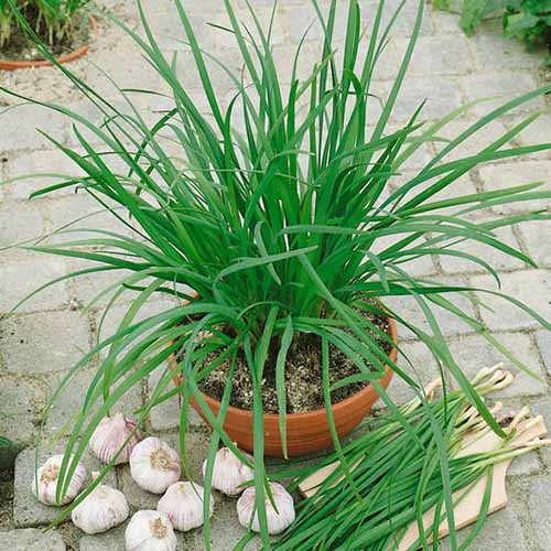 A close up square image of a small terra cotta pot of garlic chives set on a tiled surface, with garlic bulbs in the foreground.