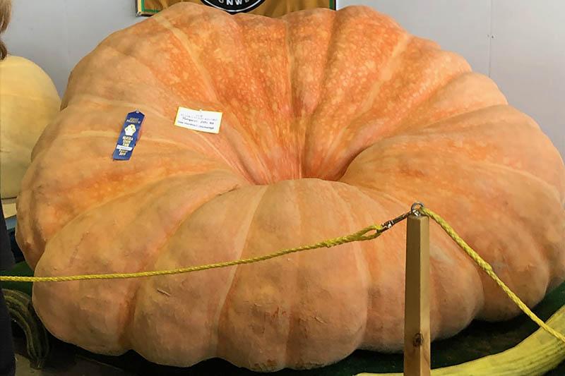 A close up horizontal image of an award-winning giant pumpkin entered into an Alaska State Fair competition.