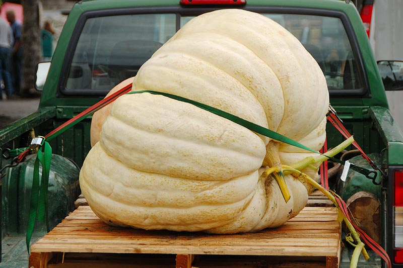 A horizontal image of an enormous pumpkin strapped to the back of a green truck, the fruit set on a wooden pallet to protect it, pictured on a soft focus background.