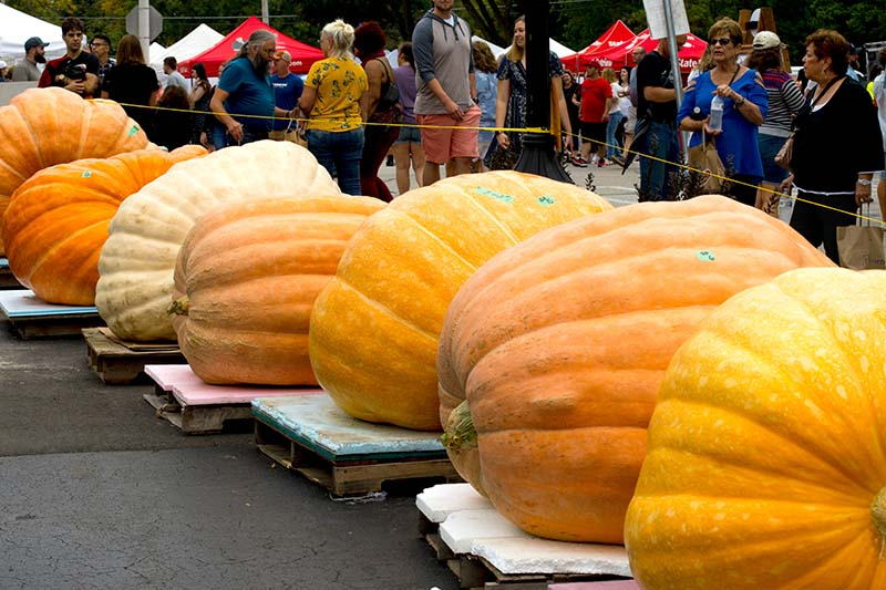 A horizontal image of a row of enormous giant pumpkins set on wooden pallets at a state fair for judging, with people in soft focus in the background.