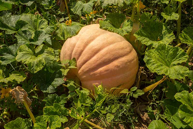 A horizontal close up image of a large pumpkin growing in the garden surrounded by foliage, pictured in light sunshine.