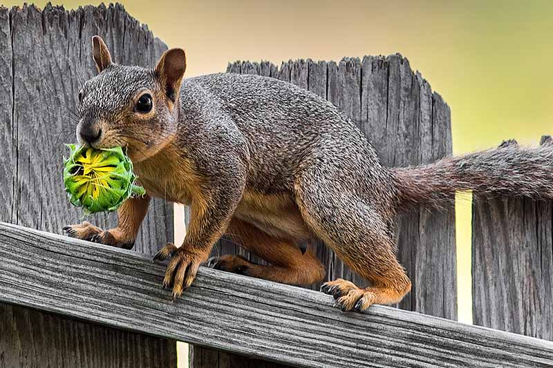 A close up horizontal image of a gray squirrel walking on a wooden fence holding a sunflower in its mouth, pictured in light sunshine on a soft focus background.