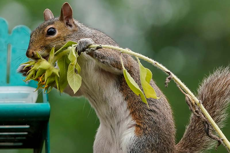 A close up horizontal image of a gray squirrel holding a sunflower and feeding on the seeds, pictured in light sunshine on a green soft focus background.