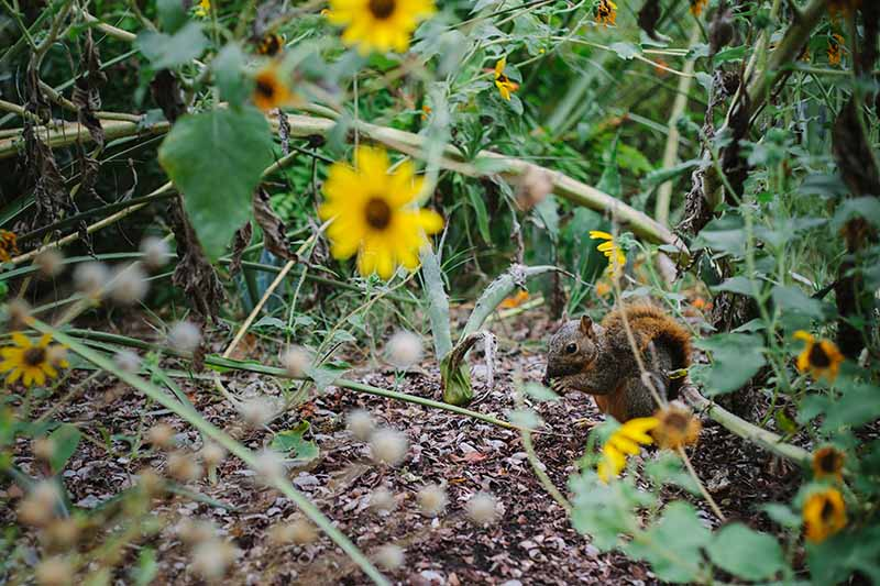 A horizontal image of a small red squirrel feeding in the garden with foliage and flowers in soft focus in the background.