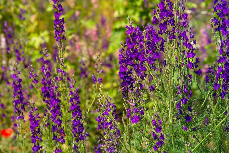 A close up horizontal image of purple, upright larkspur growing in the summer garden, pictured in light sunshine on a soft focus background.
