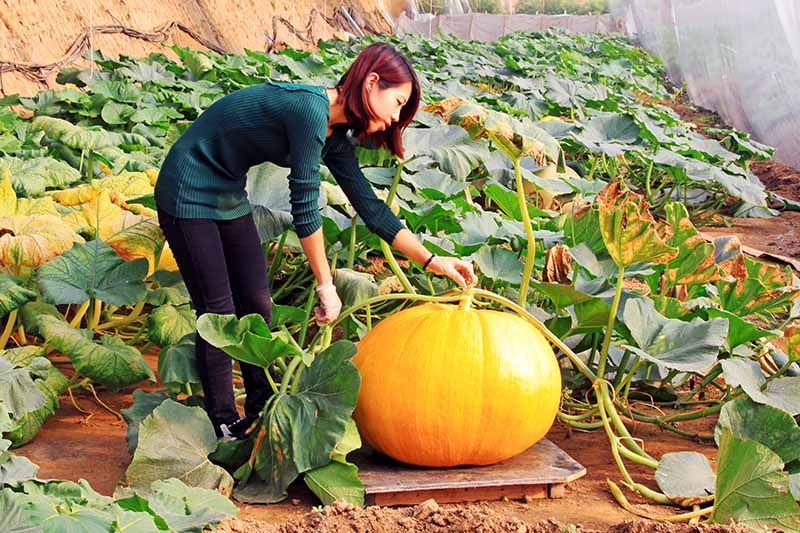 A horizontal image of a woman inspecting a large orange pumpkin growing in a greenhouse, surrounded by foliage, pictured on a soft focus background.