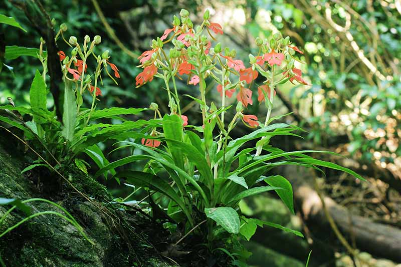 A close up horizontal image of Habenaria rhodocheila orchids growing at the base of a tree trunk with small red flowers.