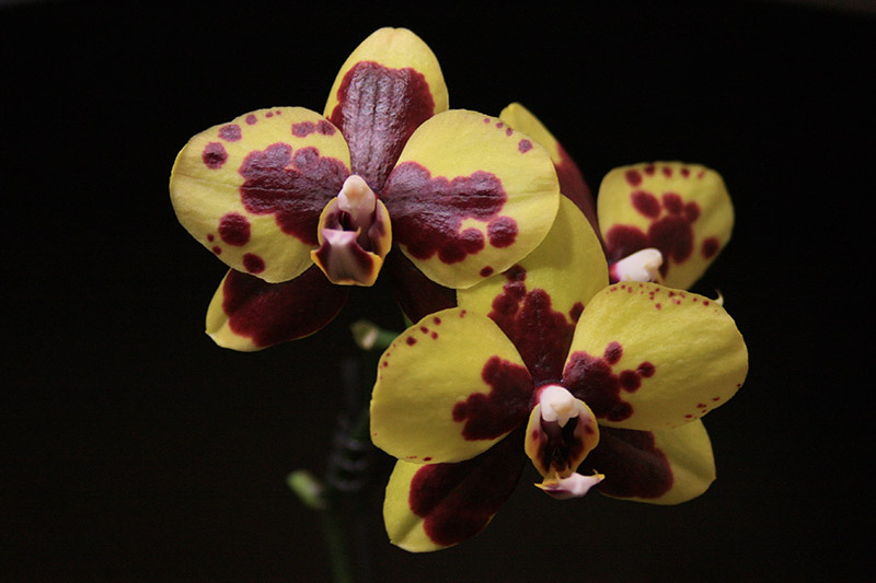 A close up horizontal image of orchid flowers in mustard yellow with a burgundy harlequin pattern.