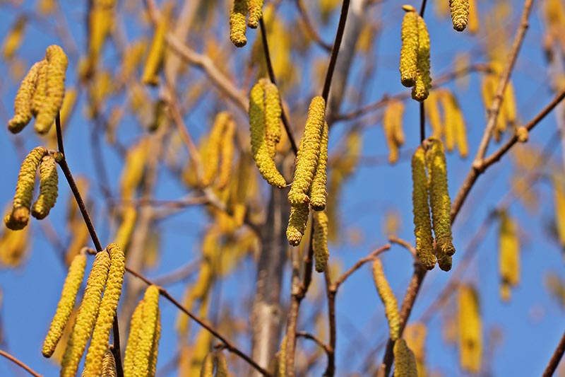 A horizontal image of hazelnut flowers hanging from the tree with blue sky on a soft focus background.