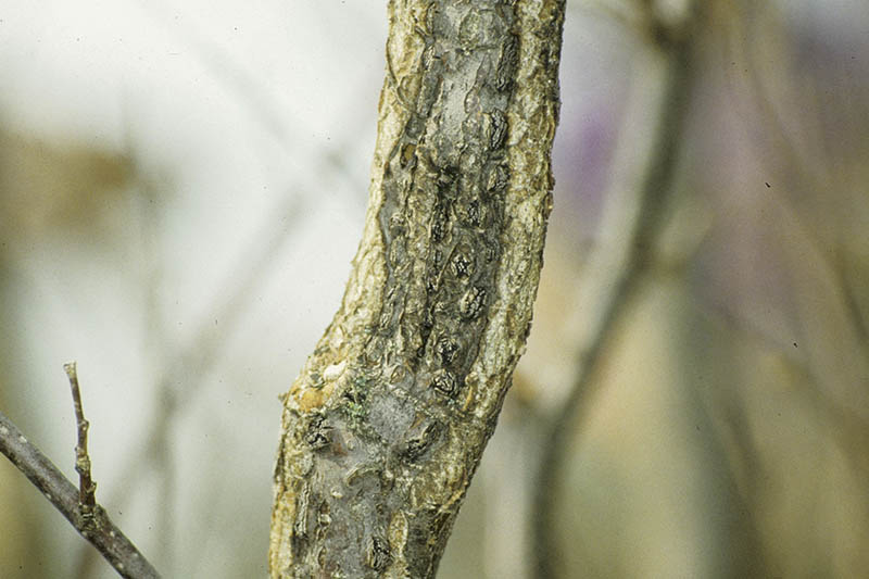 A close up horizontal image of the stem of a hazelnut tree suffering from Eastern filbert blight pictured on a soft focus background.