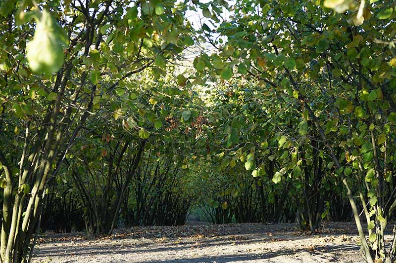 A horizontal image of hazelnut trees growing in a grove in the garden pictured in light sunshine.