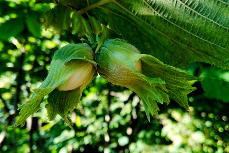 A close up of cobnuts growing on the tree surrounded by a green casing, surrounded by foliage, pictured in light sunshine with foliage in soft focus in the background.
