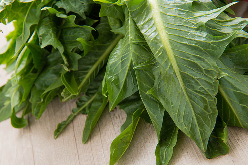 A close up horizontal image of dark green freshly harvested chicory leaves set on a wooden surface.