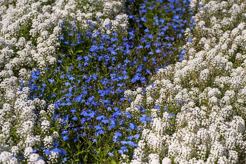 A meadow of wildflowers planted with garden lobelia, with white flowers to the left and right of the frame and blue ones in the center.