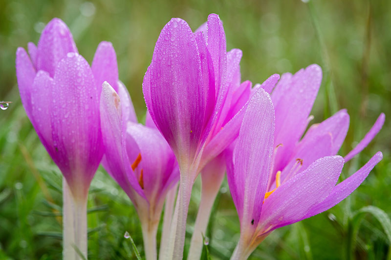 A close up horizontal image of bright pink Colchicum autumnale autumn crocus growing in the garden with pictured on a green soft focus background.