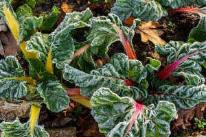 How to Grow Swiss Chard for Fall Harvests