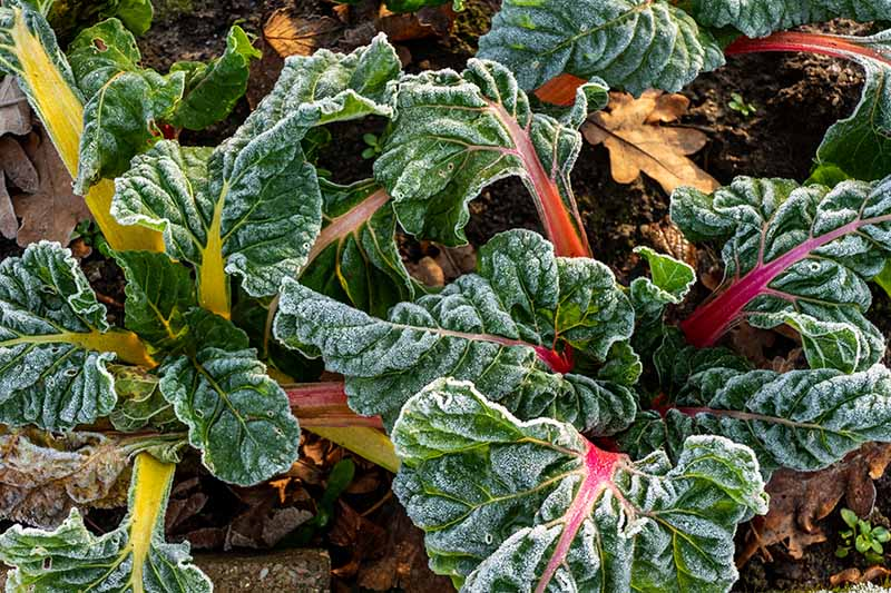 A close up horizontal image of Swiss chard growing in the late fall garden covered with light frost on the dark green leaves and colorful stems.