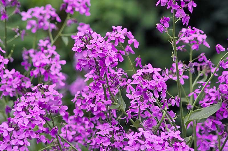 A close up horizontal image of vivid pink Hesperis matronalis, also known as Dame's Rocket, growing in the summer garden pictured in light sunshine on a green soft focus background.