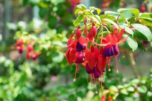 How to Grow Fabulous Fuchsia
