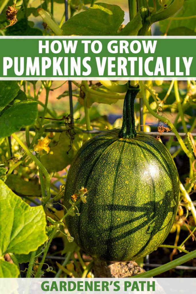 A close up vertical picture of a green developing pumpkin attached to a trellis so that it grows vertically to save garden space. To the top and bottom of the frame is green and white printed text.